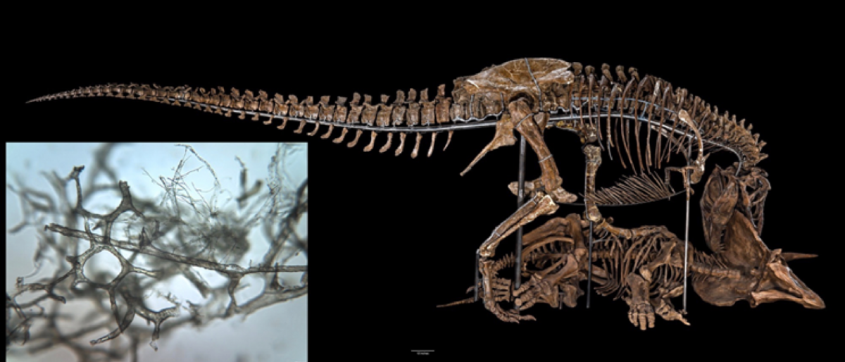 Permalink to: How Dinosaur Blood Vessels Preserve through the Ages Revealed